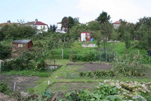 Royate Hill Community Allotment the site of the nettles.