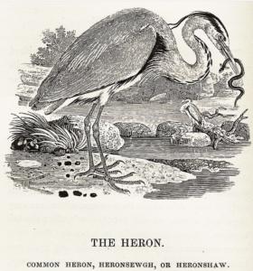 Woodcut of a heron by Thomas Bewick